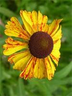 Helenium bigelovii - Garten-Sonnenbraut Superbum