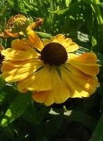 Helenium - Garten-Sonnenbraut Goldrausch