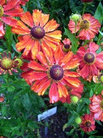 Helenium - Garten-Sonnenbraut Indianersommer