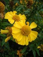 Helenium - Garten-Sonnenbraut Kanaria