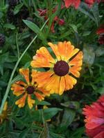 Helenium - Garten-Sonnenbraut Waltraud