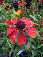Helenium - Garten-Sonnenbraut Moerheim Beauty