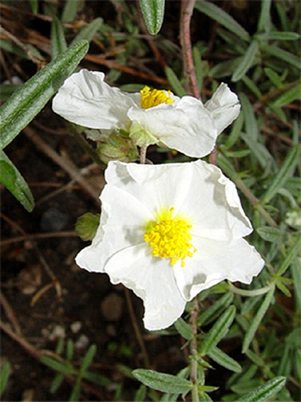 Photos Helianthemum apenninum - Rock rose