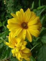 Helianthus atrorubens - Garten-Stauden-Sonnenblume Monarch