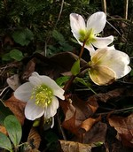 Photos Helleborus niger