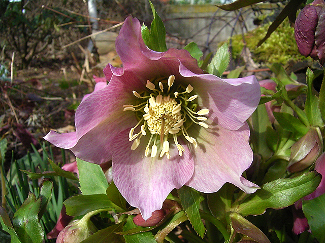 Photos Helleborus orientalis - Lenten rose