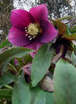 Photos Helleborus purpurascens