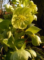 Photos Helleborus sternii
