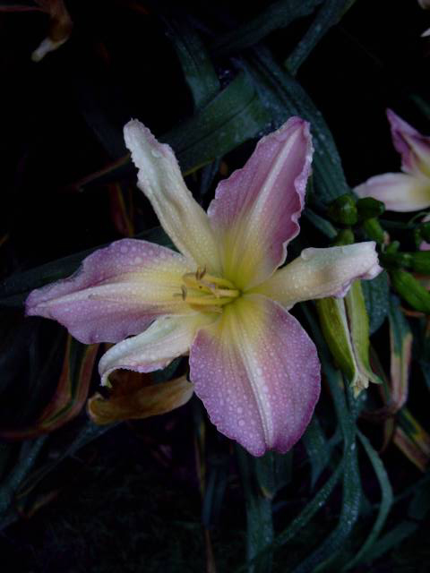 Photos Hemerocallis - Daylily