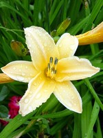 Photos Hemerocallis