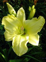 Hemerocallis - Garten-Taglilie, Beet-Taglilie So lovely