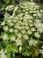 Photos Heracleum stevenii
