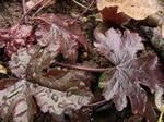 Heucherella - Garten-Purpurgl�ckchen Burnished Bronce