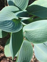 Photos Hosta