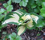 Photos Hosta � tardiana