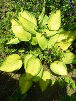 Photos Hosta � fortunei