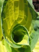 Fotos Hosta sieboldiana