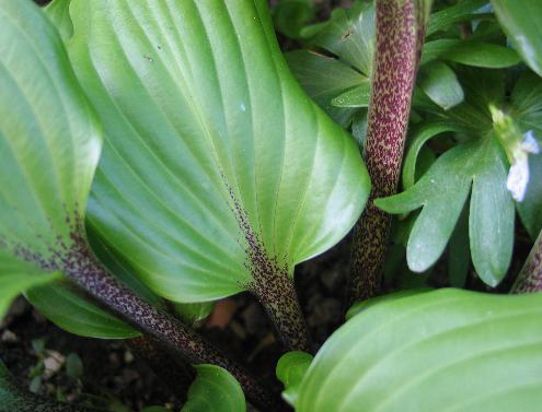 Photos Hosta -