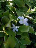 Photos Hosta plantaginea