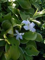 Fotos Hosta plantaginea