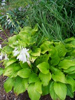 Hosta plantaginea - Lilien-Funkie Royal Standard