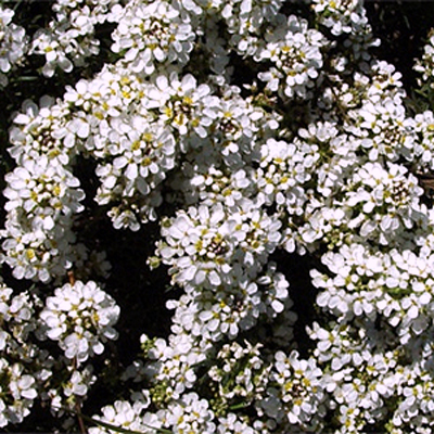 Photos Iberis saxatilis - Annual candytuft