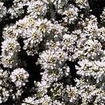 Iberis saxatilis - Felsen-Schleifenblume