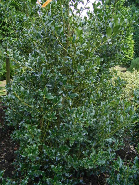Photos Ilex aquifolium - English holly