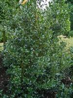 Photos Ilex aquifolium