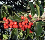 Ilex aquifolium - Gemeine Hülse, Stechhülse, Winterbeere, Stechpalme