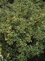 Ilex aquifolium - Stechpalme Silver Queen