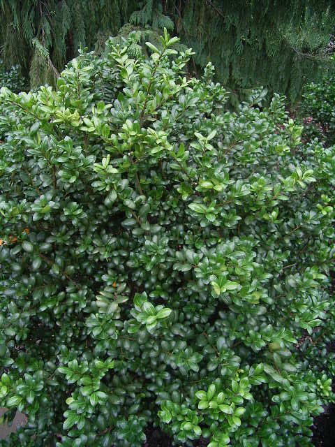Photos Ilex crenata - Japanese holly
