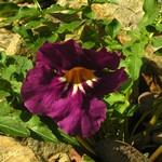 Incarvillea delavayi - Garten-Gloxinie