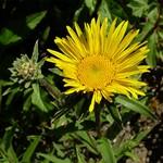 Inula ensifolia - Zwergiger Garten-Alant Goldammer