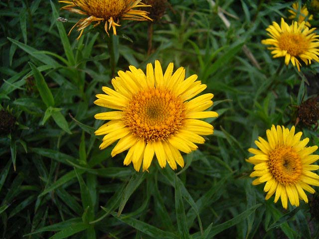 Photos Inula ensifolia -