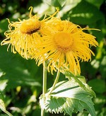 Inula magnifica - Afghanistan-Alant, Riesen-Alant