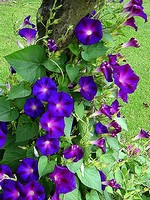 Ipomoea tricolor - Prunkwinde