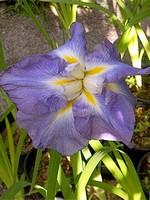 Photos Iris ensata