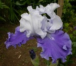Iris Barbata-Elatior - Hohe Bart-Iris Song of Norway