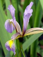Photos Iris carthaliniae