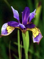 Photos Iris clarkei