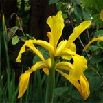 Photos Iris crocea