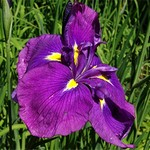 Photos Iris ensata