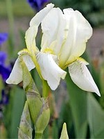 Photos Iris flavescens