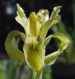 Photos Iris forrestii