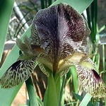 Photos Iris gatesii