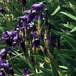 Photos Iris germanica