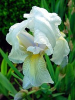Photos Iris germanica var. florentina