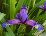 Photos Iris graminea