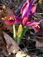 Photos Iris histrioides